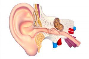 anatomia orecchio