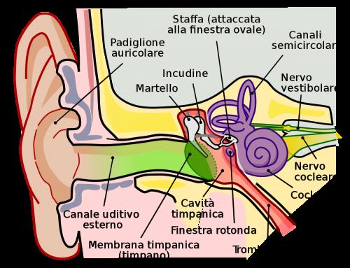 L'anatomia dell'orecchio: com'è fatto e come funziona