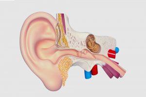 anatomia udito