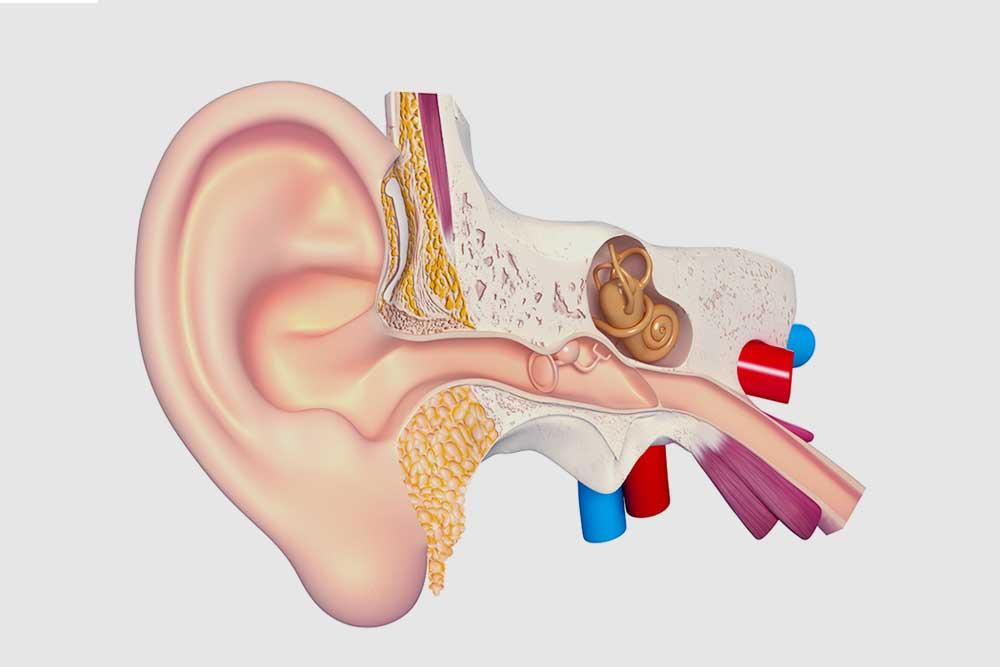 anatomia dell'orecchio