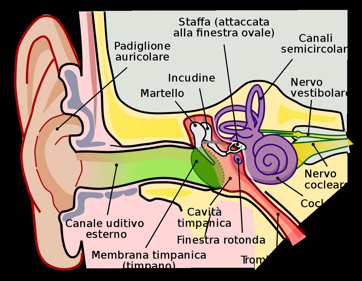 anatomia-orecchio